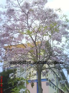 Musim Bunga Di Kmpp (Kolej Matrikulasi Pulau Pinang)