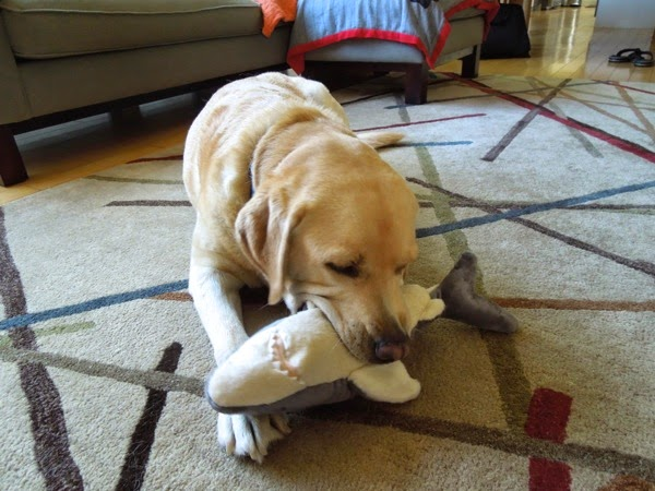 Labrador shark chew toy