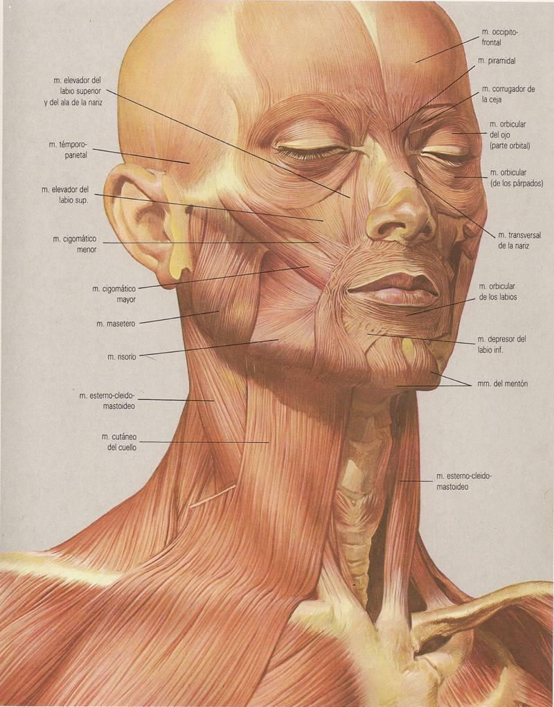 Lujoso Anatomía Muscular De La Cara Cresta - Anatomía de Las ...