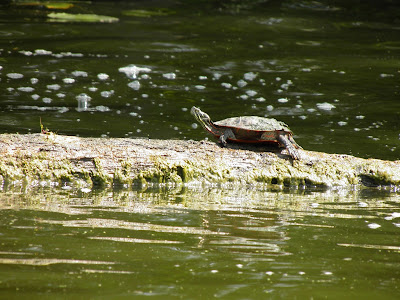 Fox River Turtles