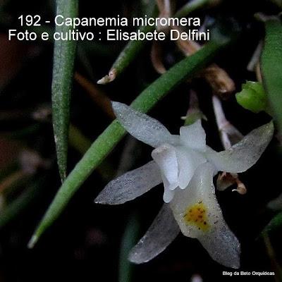 Quekettia micromera ,Quekettia micromera var. major