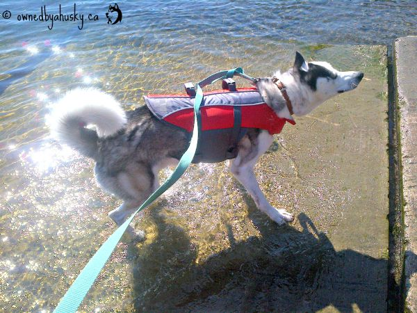 Siberian Husky Playing in the water