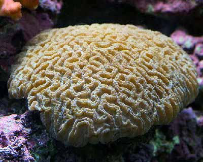 Brain Coral For Sale1