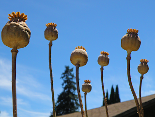 Dried Poppies Look Taller than Trees