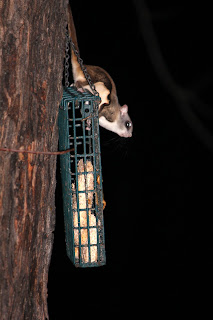 Flying squirrel on a suet feeder.