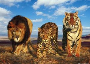 Big cats pictures
