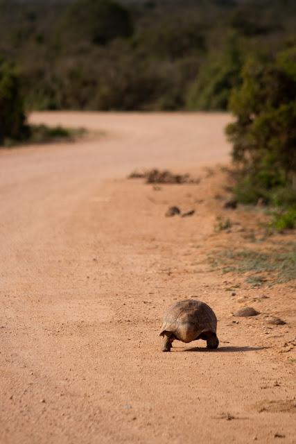 tortuga caminando en camino de arena