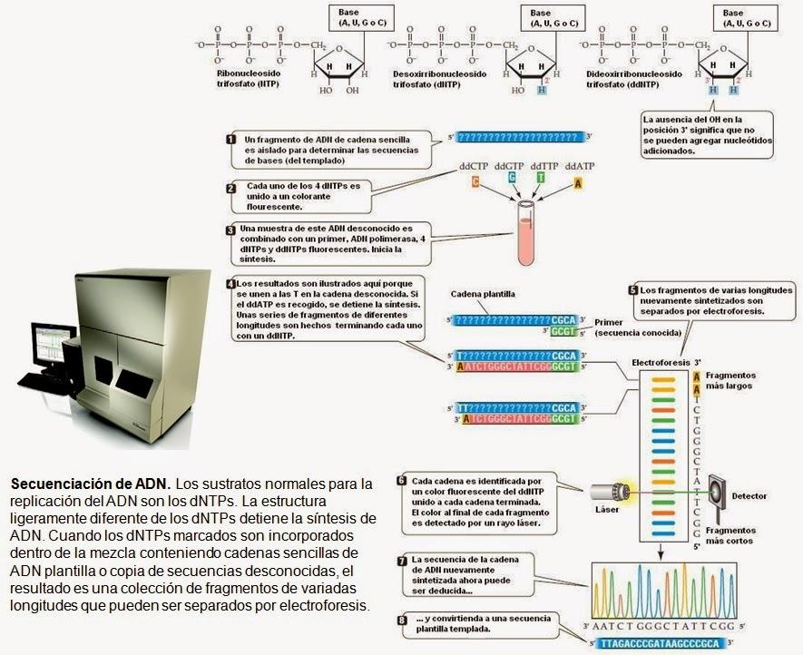 Secuenciación de ácidos nucleicos   Apuntes de Biología Molecular
