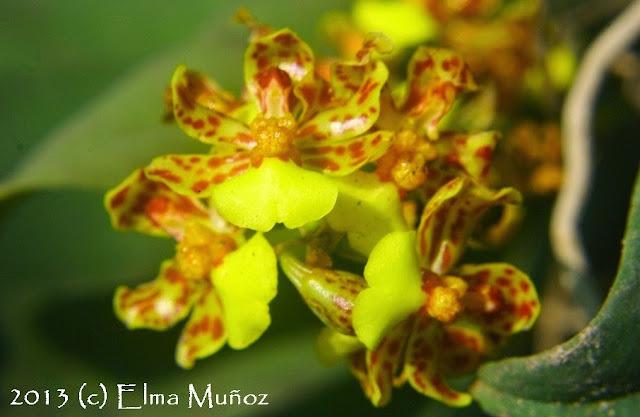 Orquideas : Lopiaris nana 2013 (c) Elma Muñoz