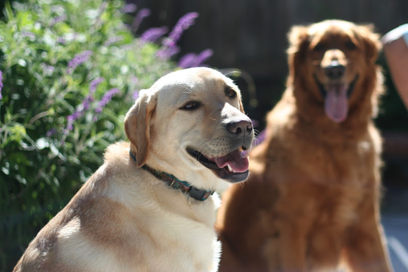 photo of cabana smiling at the camera, dark red golden retriever in the background with tongue hanging out smile
