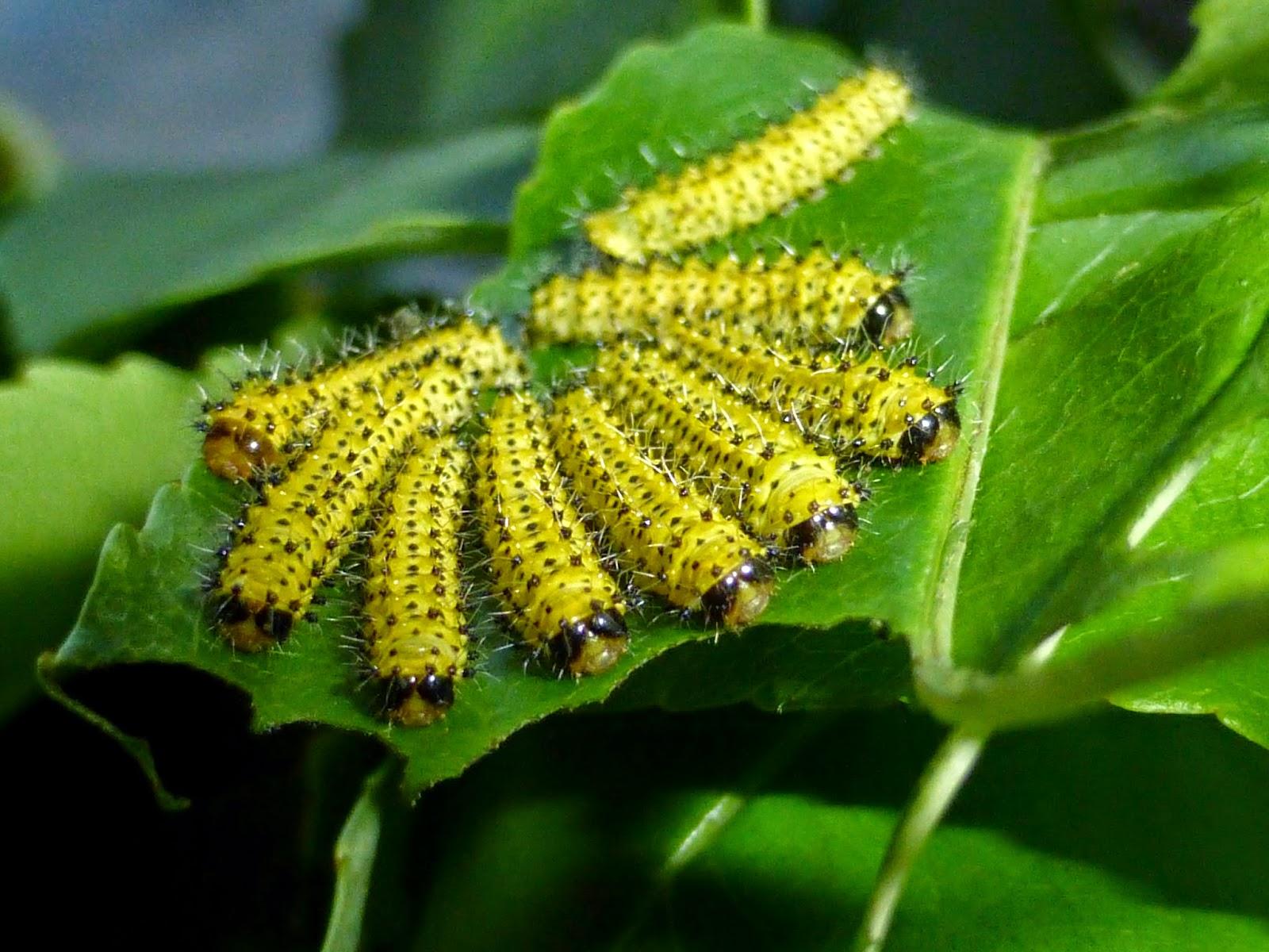 Samia cynthia caterpillar