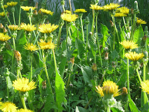 The Lowly Dandilion; common but dynamic