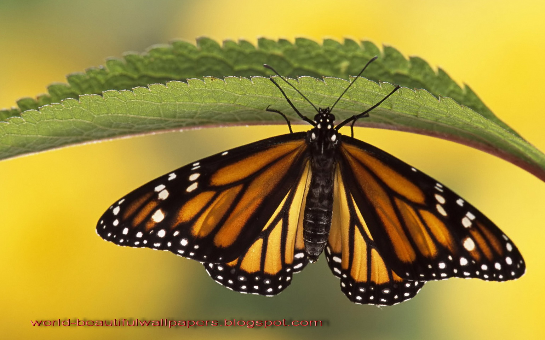 beautiful wallpapers beautiful butterflies wallpaper