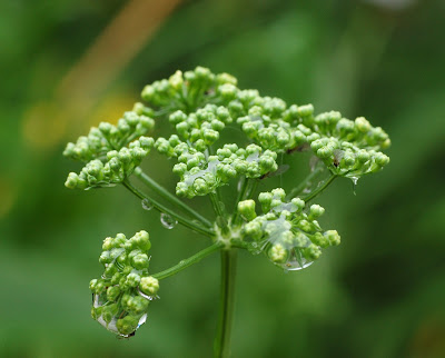 Parsley (Petroselinum Crispum) Overview, Health Benefits, Side effects