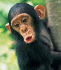 Ojear el mono simio