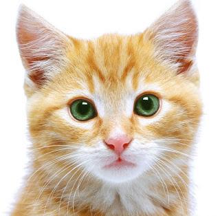 Fungsi kumis pada kucing