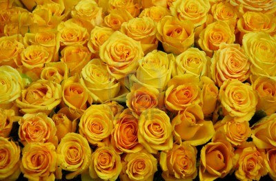 Funny wallpapers flowers rose yellow meaning behind yellow roses colored roses yellow roses means what a yellow rose means red and yellow roses meaning whats the meaning of yellow roses yellow rose wallpaper hd mightylinksfo Images