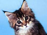 Maine Coon Cat Wallpaper. maine coon cat wallpaper. Cute Maine Coon Cat