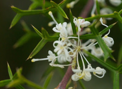 Honey Bush (Hakea lissocarpha)