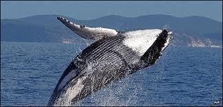Icelandic Whale - Google Images