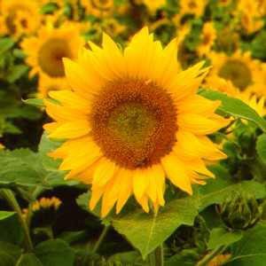 Bunga Matahari Obat Sakit Gigi Tradisional Alami Paling Ampuh