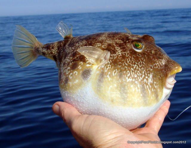Pure florida gopro underwater fishing video for Puffer fish florida