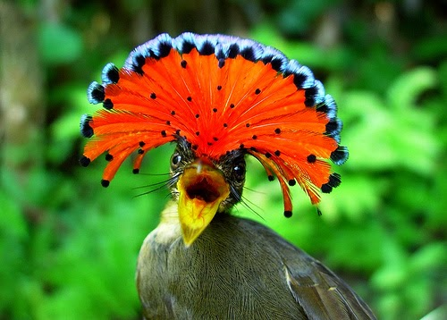Animals You May Not Have Known Existed - The Amazonian Royal Flycatcher