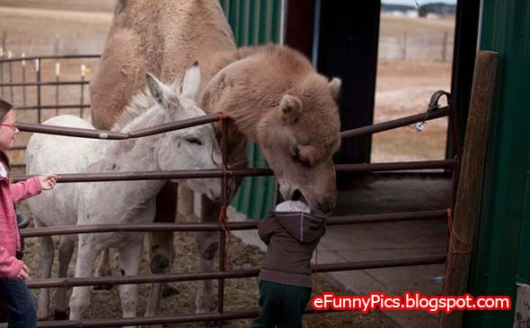 Camel eats child Or just want to play?