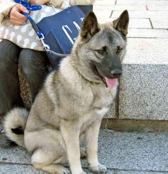 Big German Shepherds: Norwegian Elkhound German Shepherd Mix