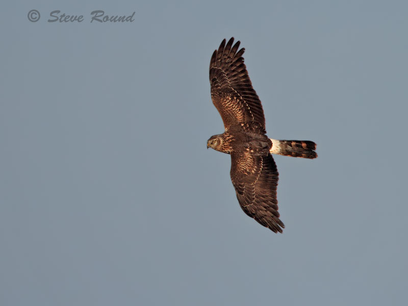 hen harrier, bird, raptor, harrier