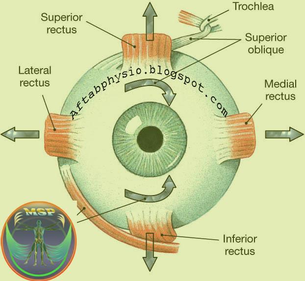 Anatomy of Eye ~ Anatomy for MSP