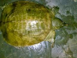 Obat tradisional ini berasal dari hewan labi-labi, dalam bahasa Cina disebut Bie Jia. Labi-labi adalah sejenis kura-kura namun kerapas atau cangkangnya lebih lembut. Hewan ini asli dari daratan Cina tetapi telah di budidayakan di Indonesia. Selama pertumbuhannya labi-labi membutuhkan cukup sinar matahari.