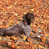 10 Interesting Facts about German Shorthaired Pointers