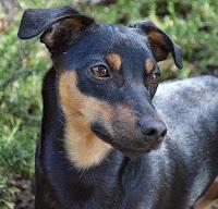 Baron Cooper, Manchester terrier