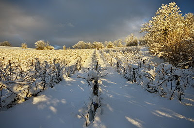 Snow and sun on the vineyard