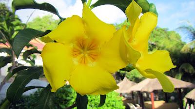 Gelbe Blüte auf La Digue, Seychellen