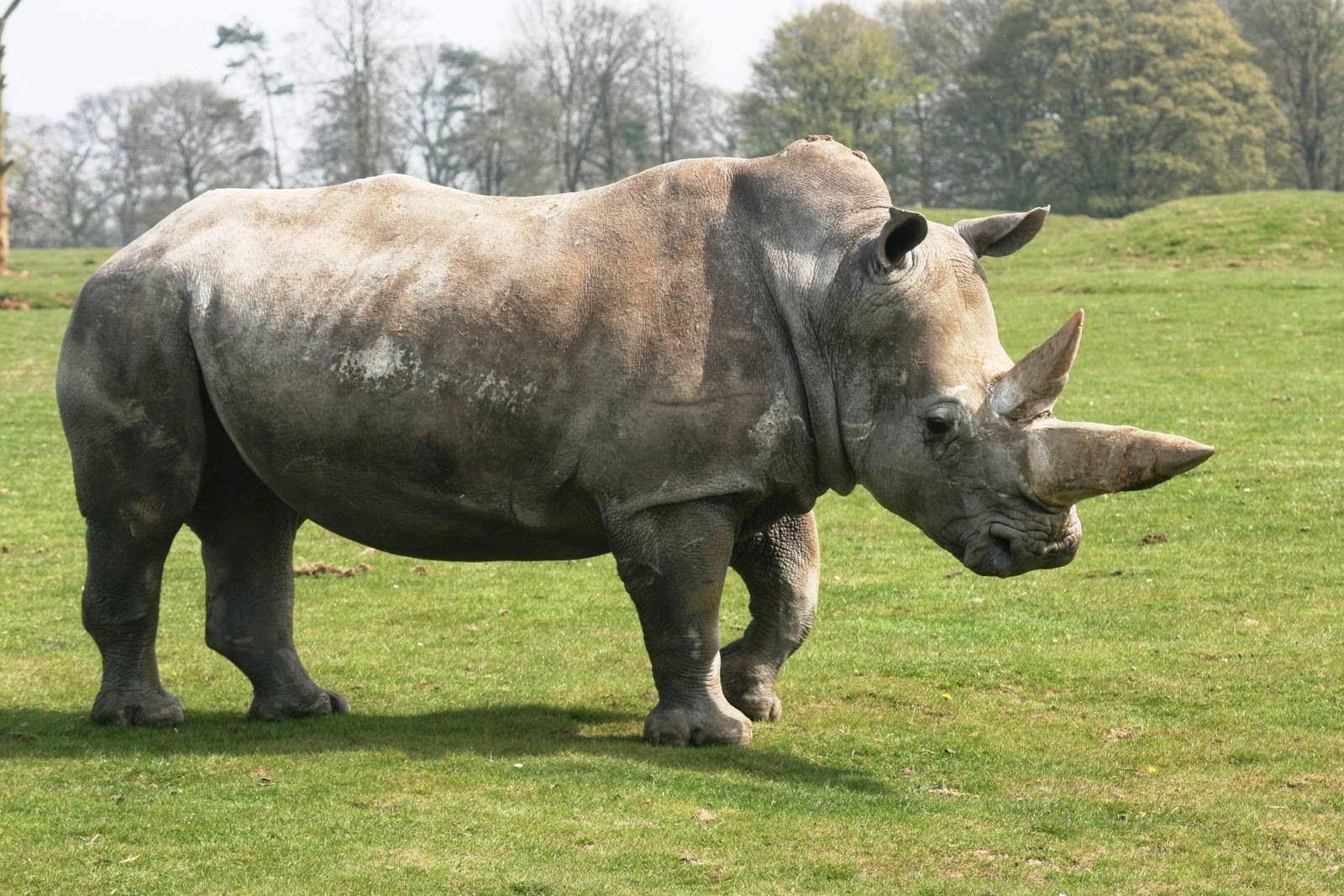 Rhinoceros Charging | www.imgkid.com - The Image Kid Has It!