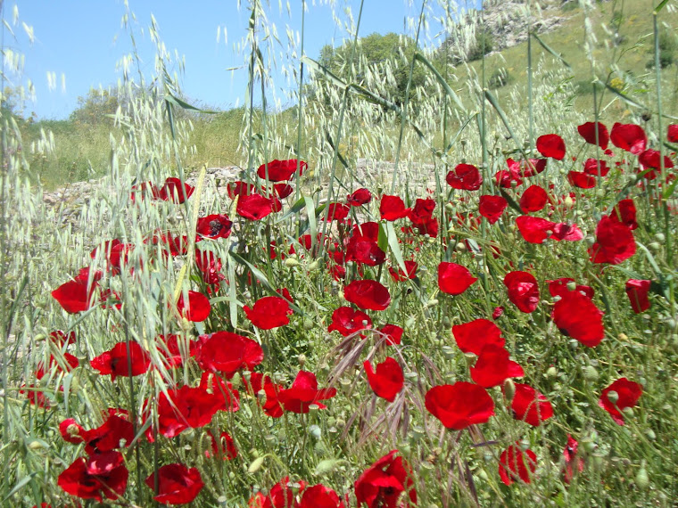 Poppies in Ephesus