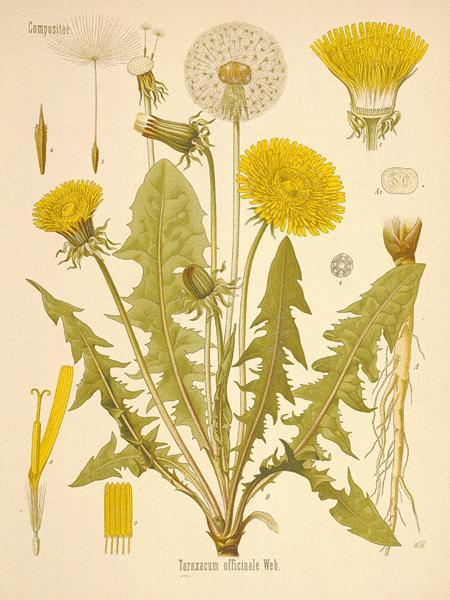 Usf Contemporary Literature Dandelion A Complex Symbol In Lousie