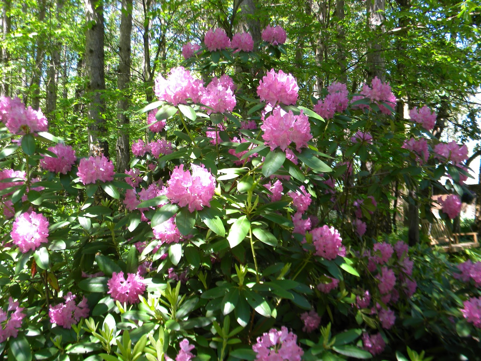 The northern new york gardener spring bulbs dividing perennials spring flowering bushes and trees mightylinksfo