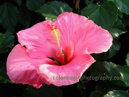 Chinese hibiscus-Hibiscus rosa sinensis