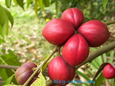 Manfaat tumbuhan Mahkota DEWA