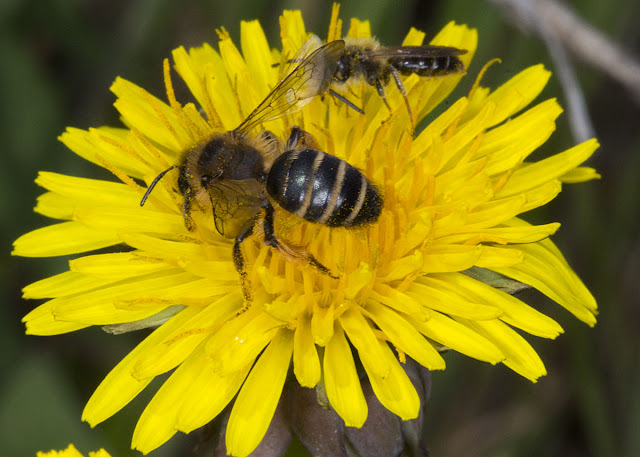 Solitary bees, Andrena species, on a Dandelion, Taraxacum officinale.   Nashenden Down Nature Reserve, 14 April 2012.