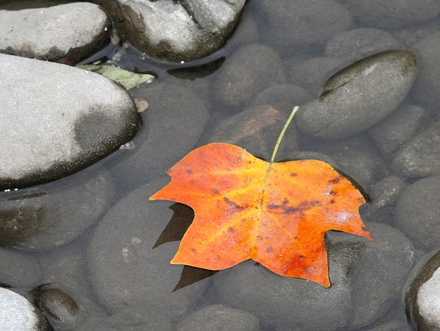 Orange and yellow maple leaf in a shallow rock-lined stream
