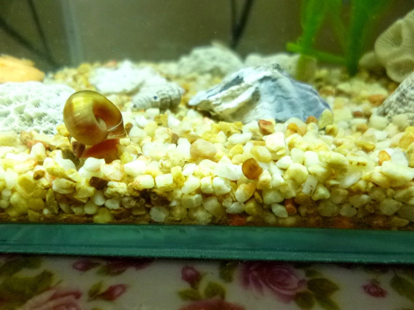 aquarium update 1 baby baby baby snail