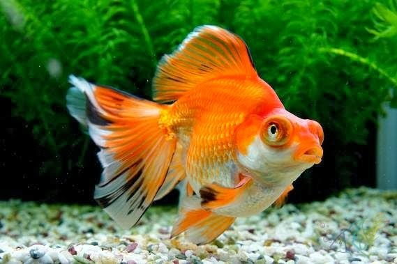 Akvaryum japon balığı hakkında bilgi