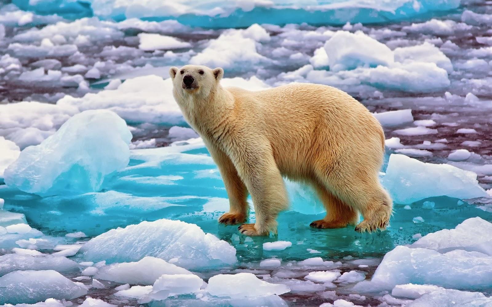 X Five Polar Bear BANCO DE IMÁGENES...