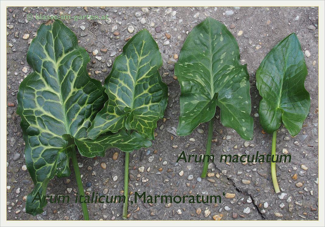 Blätter verschiedener Aronstabarten und -sorten