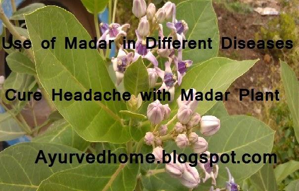Headache Cure With Madar Plant, सिर दर्द में आक पौधे का प्रयोग , use of aak plant, medicinal use of aak, आक का पौधा एक उत्तम दवाई, use of aak ki Jad, madar root paryog, use of aak in cold,