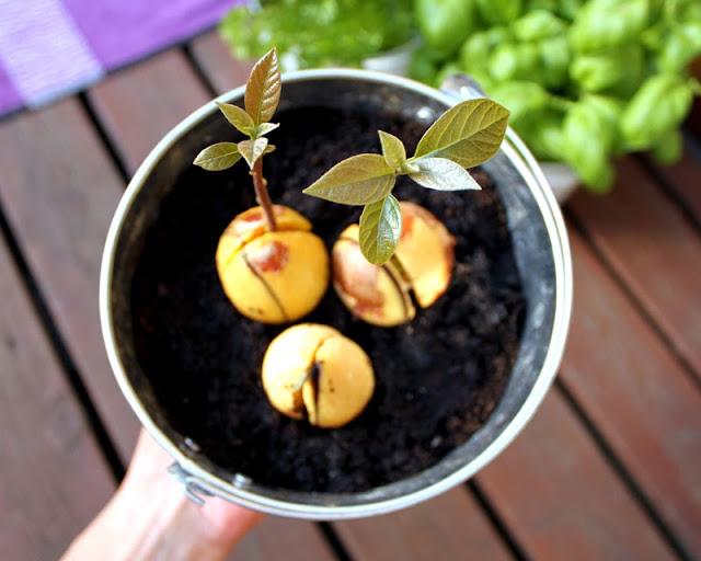 Gro En Avokado Hvordan Spire Avokadoplante Guide
